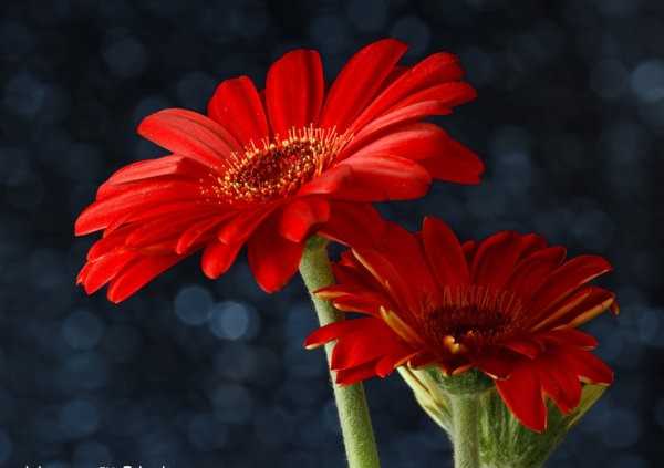 适用于婚礼现场布置的鲜花都有哪些?